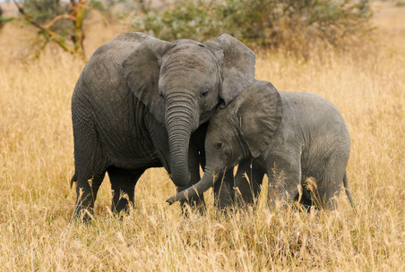Humans and elephants both fare better with dads around